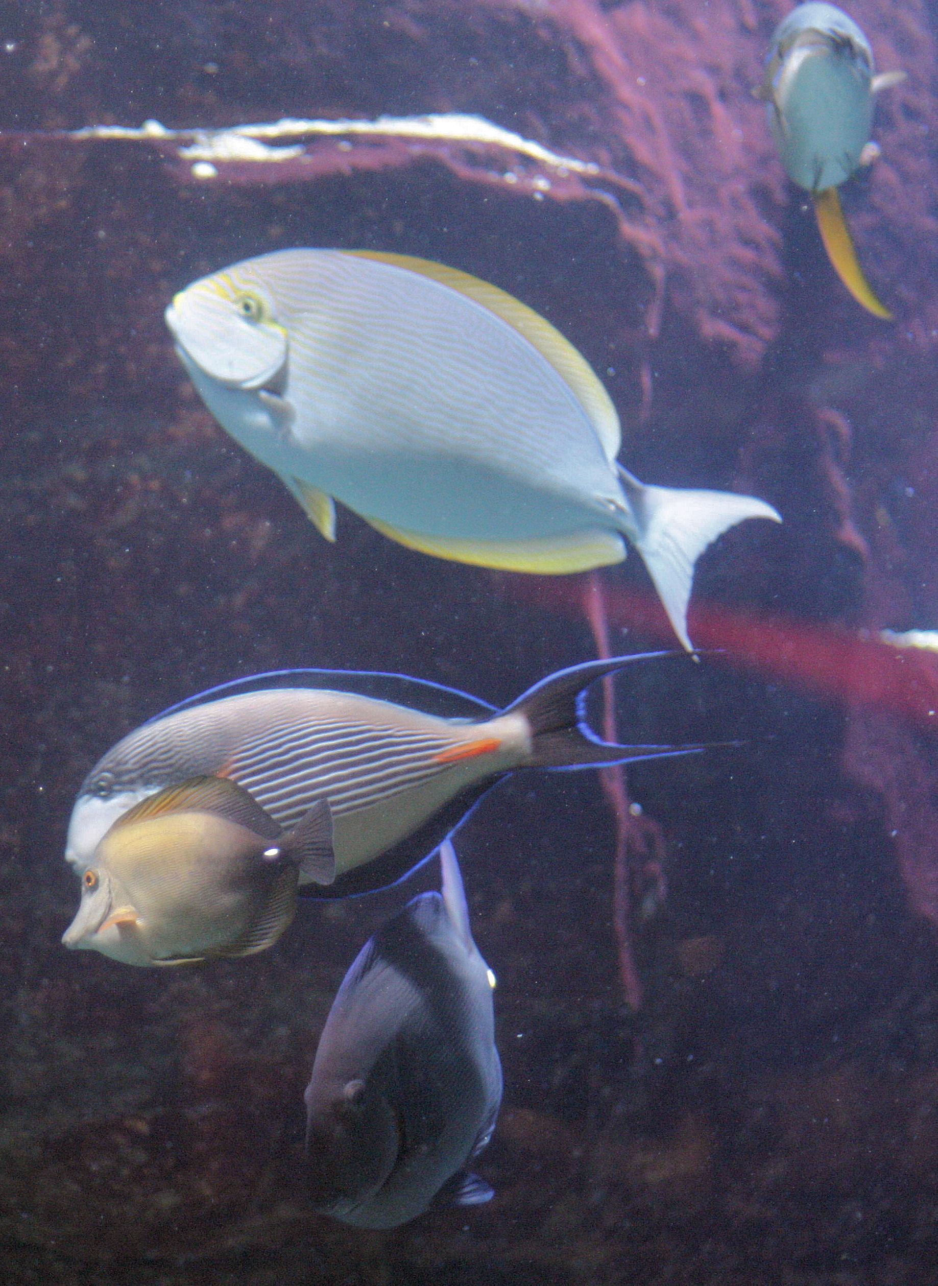 Golden nugget shark pool vegas mavens for Caesars tropical fish